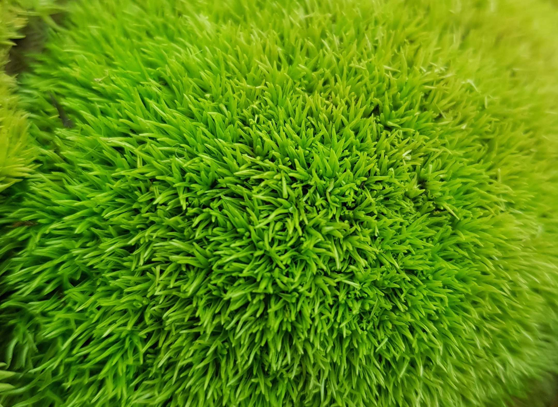 preserved pole moss